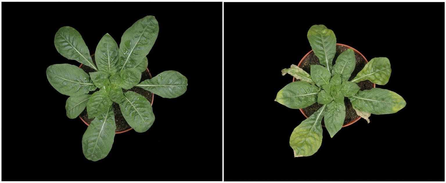Lichtabhängige Änderung der Blattfarbe von inkompatiblen Nachtkerzen ©Zupok et al., 2021